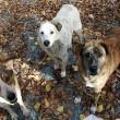 Kadavers vormen bewijs van illegale doding Roemeense zwerfhonden