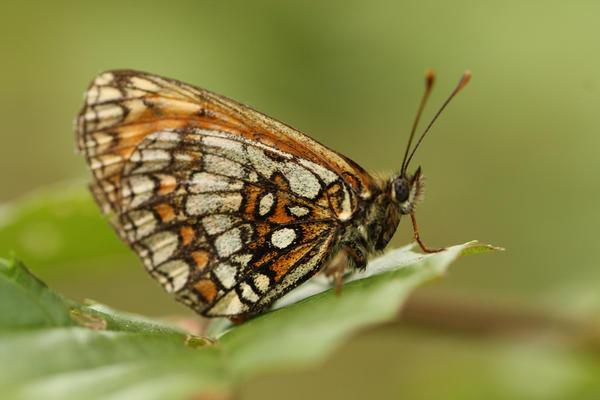 Bosparlemoervlinder