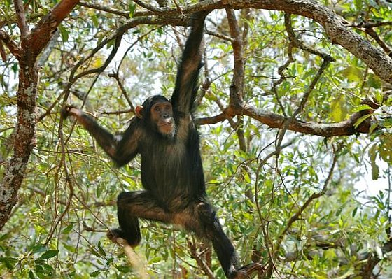 Chimpansee in boom