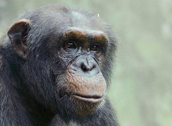 Chimpanseevrienden