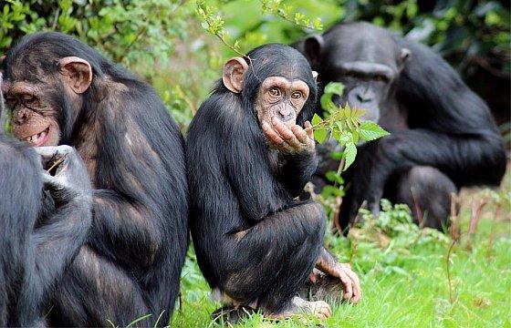 Chimpansee verbaasd - chimpansees