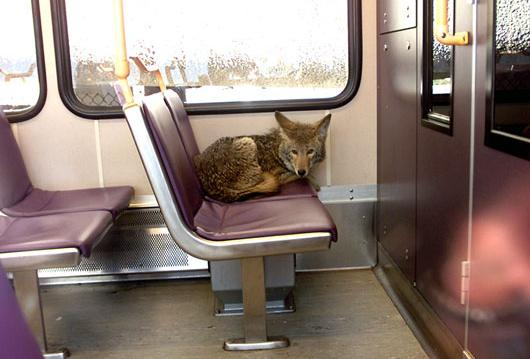 Coyote in trein