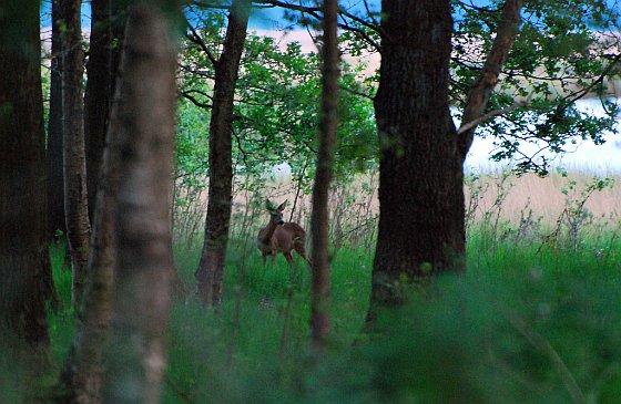 Hert in Drenthe