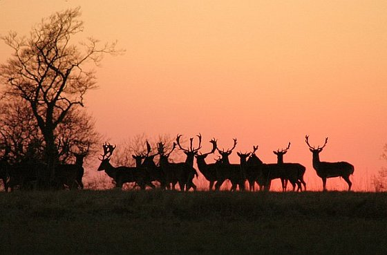 Herten zonsondergang