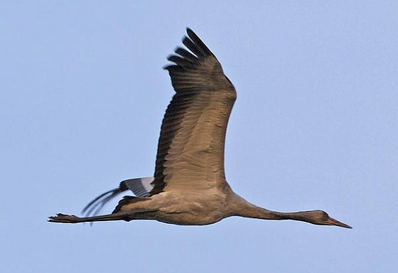 Kraanvogel kraanvogeltrek