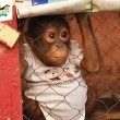 Baby orang-oetan in kooi gevonden