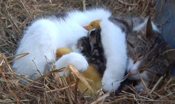 moederpoes zorgt voor babyeendjes