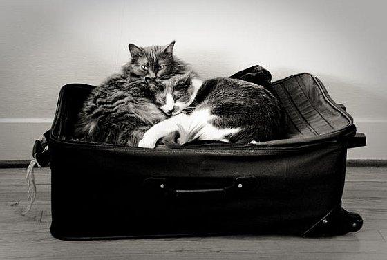 Poezen op koffer