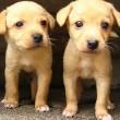 GAIA: leg invoer honden uit Oost-Europa aan banden
