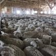 Dierenleed schapenfokkerijen voor productie luxe wol