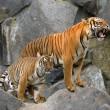 Leefgebied tijgers in India sterk verminderd