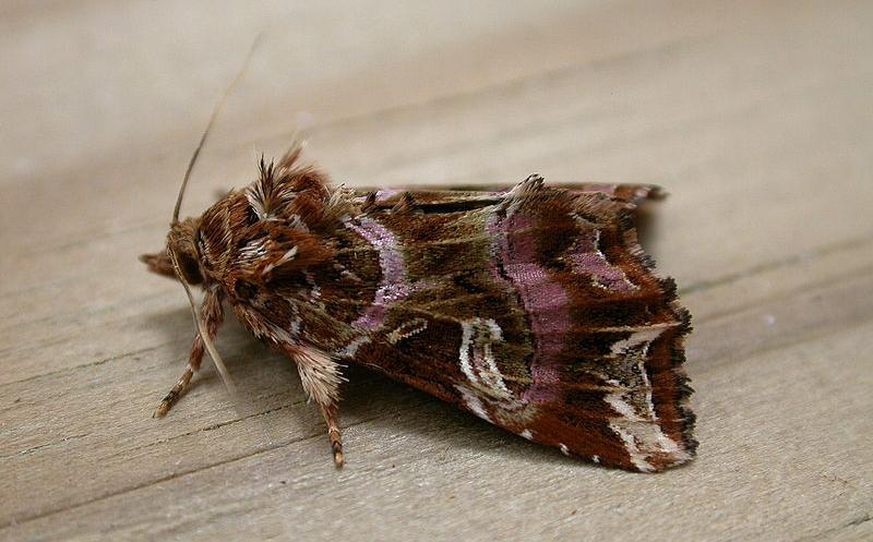 varenuil vlinder