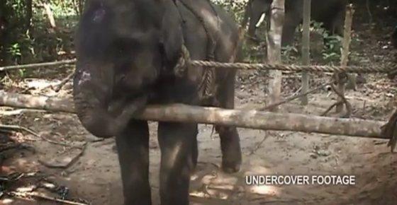 vastgebonden babyolifantje