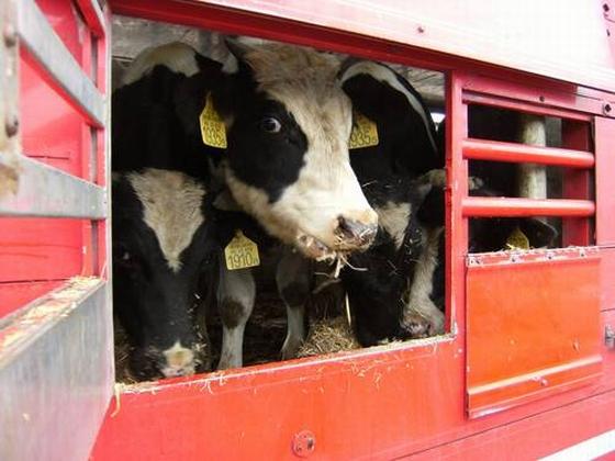 Koe in vrachtwagen