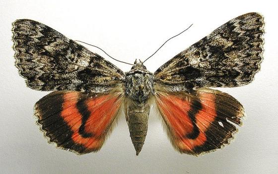 eikenweeskind vlinder