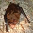 Bijzondere vleermuis ontdekt in België