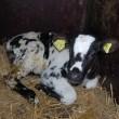 Medewerkers van Canada's grootste melkveehouder veroordeeld voor dierenmishandeling