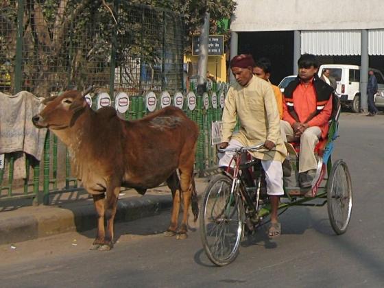 Koe in India