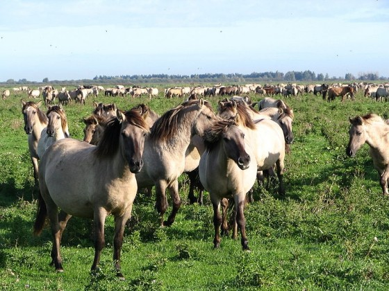 konikspaarden in Oostvaardersplassen