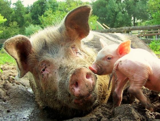 varkens in modderpoel