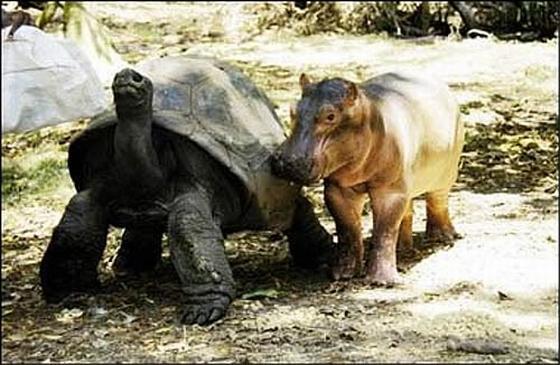 nijlpaard en reuzenschildpad