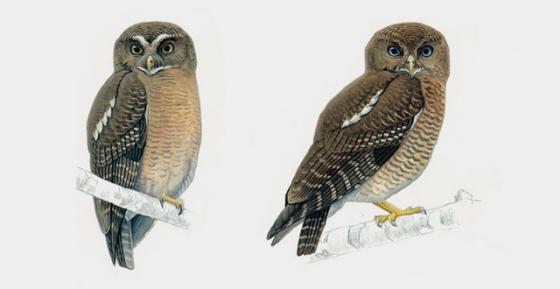 camiguin hawk owl