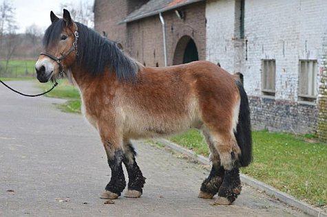 Guus - paarden vrij
