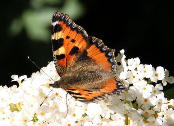 vlinderzomer