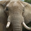 Vietnamese ivoorsmokkelaar gearresteerd in Maleisië