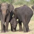 Stroperij in Myanmar neemt toe door vraag naar olifantenhuid