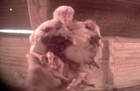 pluimveehouderij