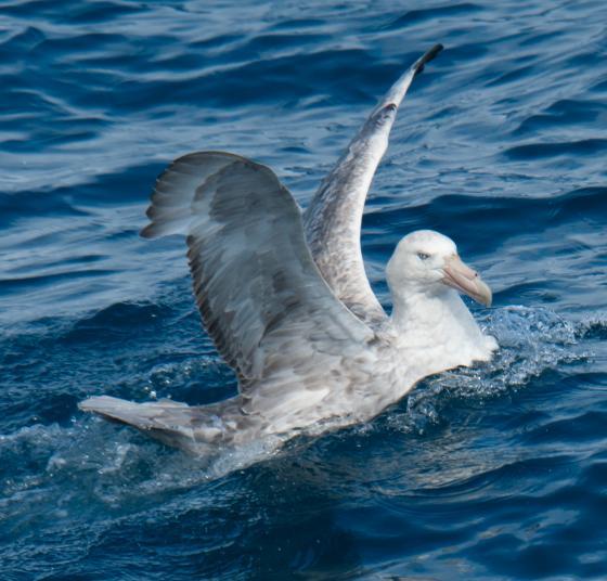 piepvandaag-EV Zuidelijke reuzenstormvogel