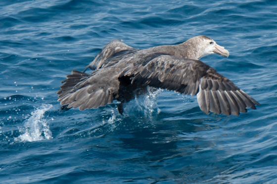 zuidelijke reuzenstormvogel