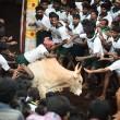 Opnieuw races met stieren tijdens Jallikattu Festival in India