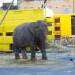 Nederlandse circusdieren treden op in Ierland