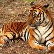 Hoop voor bijna uitgestorven Chinese tijger