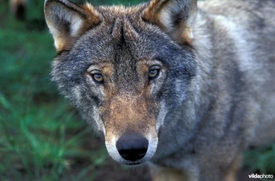 wolvenpopulatie
