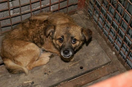 Bosnische hondje Sjakie