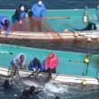 Erwin Vermeulen: Taiji dolfijnenslachting op het punt van beginnen