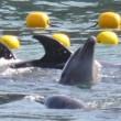 Franse Raad van State maakt verbod fokken van dolfijnen in gevangenschap ongedaan