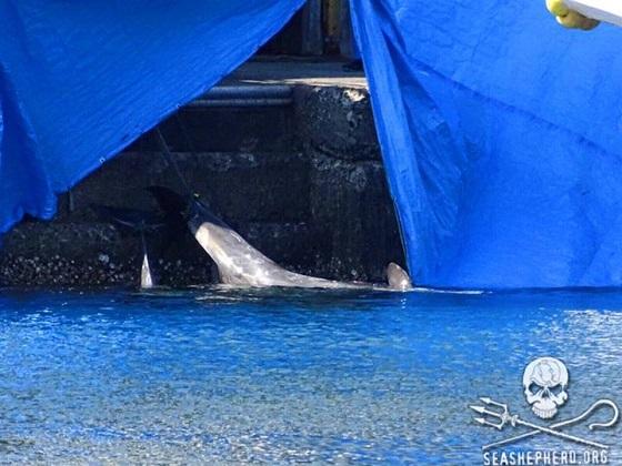 dolfijnenjachtseizoen in Taiji