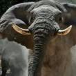 Legendarische olifant Voortrekker in gevaar in Namibië