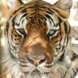 De toekomst van de wilde tijger ligt in handen van China