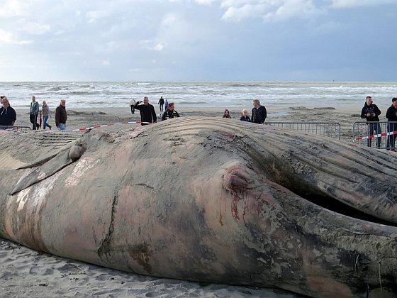 Aangespoelde dode vinvis