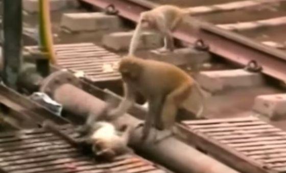 Geëlektrocuteerde aap