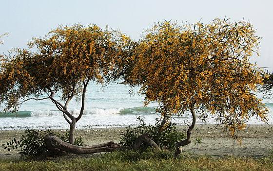 Acaciaboom