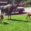 #GNvdD: Afkoeling voor eland met haar kalfjes (video)