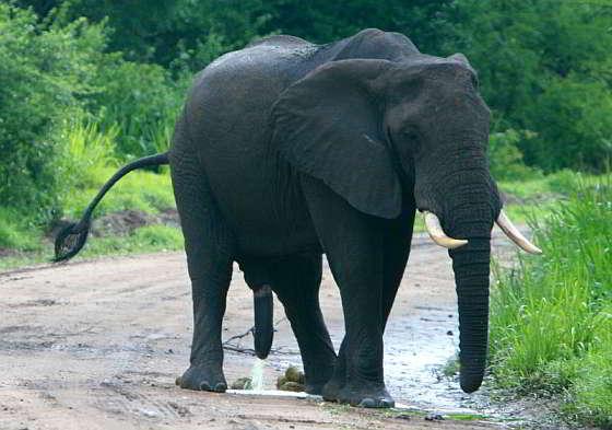 Afrikaanse bosolifant
