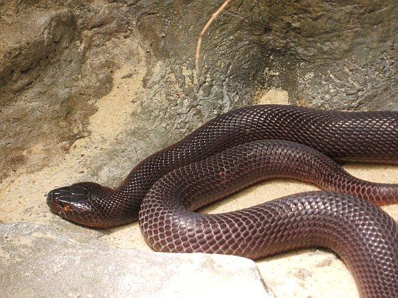 Afrikaanse cobra - slang