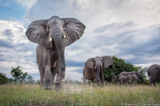 Afrikaanse olifant - kopstuk ivoorhandel
